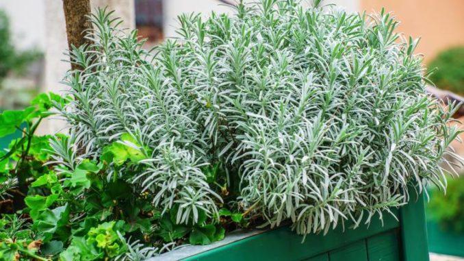 come far crescere le piante aromatiche
